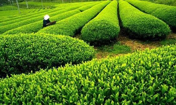 炒茶应用解决方案